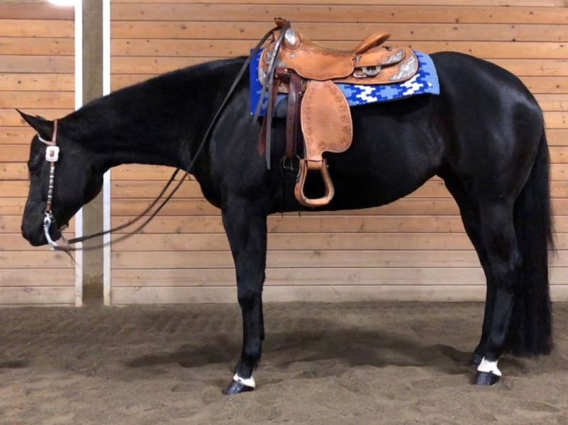 2013 Aqha All Around Horse For Sale1